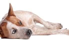 Kutyák - Fehérjevesztő enteropátia